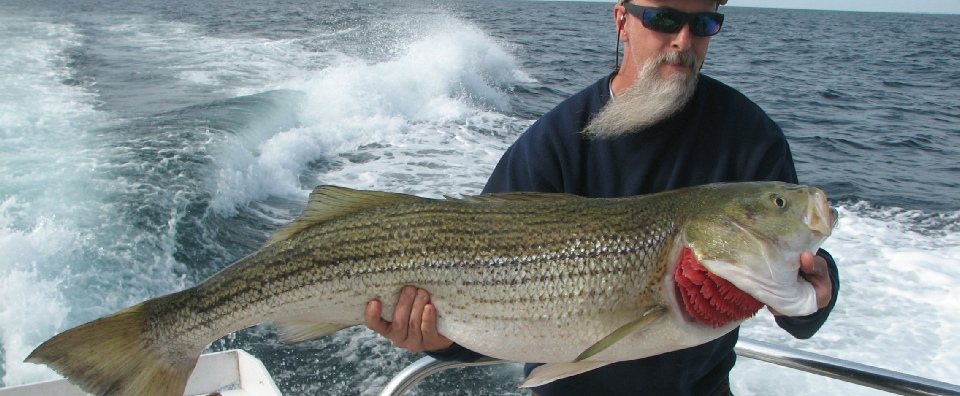 C-Devil II Striped Bass